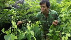"""Nông dân Lạng Sơn """"biến"""" rau dại trên núi thành rau đặc sản nức tiếng"""