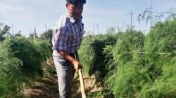 Trồng măng tây xanh thu 1 tỷ/ha