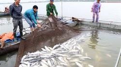 Cá sông Mã chết hàng loạt: Do hoạt động sản xuất