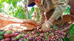 Giá cà phê xuống mức thấp nhất trong vòng 10 năm