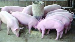 Giá heo hơi ngày 11/5: Hơn 6 triệu con heo bị hủy, giá heo tiến về mốc 100.000 đồng/kg
