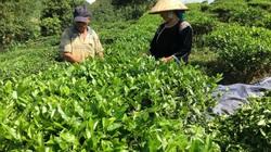 Thành phố Lai Châu: Chú trọng phát triển vùng chè chất lượng cao