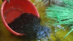 Độc đáo: Nuôi nhung nhúc lươn giống, bán 1 con bé tý với giá 5 ngàn đồng