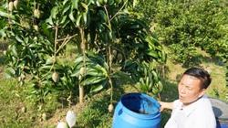 """""""Chiêu độc"""" bắt vườn xoài 7ha ra trái rải vụ, lúc nào cũng trĩu trịt quả to nặng cả kg"""