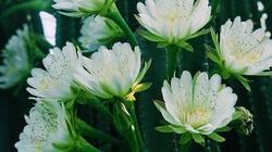 Trồng xương rồng làm hàng rào suốt 15 năm, đến năm 14 bất ngờ ra hoa trắng xóa, đẹp mê hồn