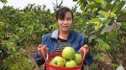 Nam Định: Trồng ổi lê Đài Loan quả to như trứng ngỗng, vỏ không tì vết mà nuôi con du học
