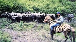 Ở nơi này trâu nuôi thả rông hóa loài thú hoang hung dữ, chiếm 30ha rẫy, dân phát khiếp