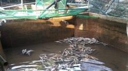 Đà Lạt: Xót xa nhìn 5 tấn cá tầm thịt, cả ngàn cá tầm giống chết nghi bị đầu độc