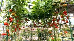 Ngất ngây với khu vườn xanh mướt, lúc lỉu trái ngon trên sân thượng của mẹ đảm Hà thành