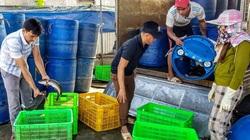 Nuôi cá lóc đầu nhím, bỏ túi hàng trăm triệu đồng mỗi năm