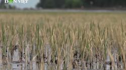 Lúa bị ảnh hưởng thời tiết, nông dân đối mặt muôn vàn khó khăn