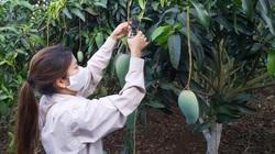 """Sơn La: Dùng thuốc bảo vệ thực vật """"4 đúng"""", xoài ở đây sai quả lại to, bán 1 vụ đã có 600 triệu"""