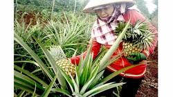 """Gia Lai: Biến đồi dốc thành trang trại trồng dứa mật cho lợi nhuận """"khủng"""""""