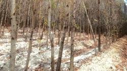 Bình Thuận: Hạn khốc liệt, cây rừng trồng lâu năm chết hàng loạt, dân điêu đứng