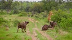 Clip: Khoảnh khắc sư tử bị trâu rừng Châu Phi húc văng lên trời