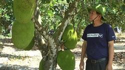 """Bình Thuận: Trồng """"rừng"""" mít Thái ra toàn trái khổng lồ, thương lái tranh nhau mua"""