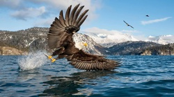 Đại bàng đầu trắng tóm con mồi lọt top 15 ảnh động vật đẹp tuần qua