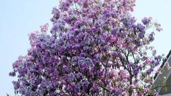 Cây bằng lăng rừng hoa phủ kín từ gốc đến ngọn, 'giá bao nhiêu cũng không bán'