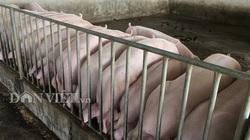 Giá heo hơi tăng lên 100.000 đồng/kg, xuất hiện lợn hơi từ Thái Lan tuồn về
