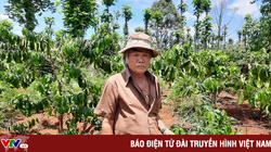 Trồng hơn 1.000 cây cần sa trong... rẫy cà phê