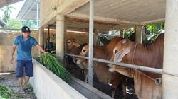 """Quảng Trị: Nuôi những loài bò con to, bự, cho ở """"nhà lầu"""" mà dân làm giàu"""