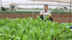 Rau sạch Chúc Sơn trụ vững mùa dịch Covid-19, bán đều đều 2,5 tấn rau mỗi ngày