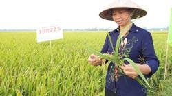 Gặp thời tiết bất thuận, lúa TBR225 vẫn bội thu tại Vĩnh Phúc, cơm ngon nhà nông bán được giá