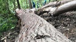 """Bắc Kạn: """"Hạ sát"""" gỗ xoan ngay trong rừng phòng hộ"""