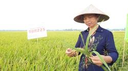 """Sản xuất lúa hè thu ở các tỉnh phía Bắc: Ưu tiên giống ngắn ngày để """"chạy"""" lụt"""