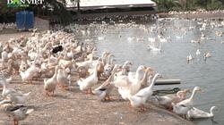 Nuôi vịt thả bãi cửa sông, nông dân Tây Hưng thu hoạch trứng có mùi vị khác thường