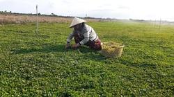 Kiên Giang: Chỉ trồng rau má thôi tôi thu 20 triệu đồng mỗi tháng
