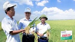 """Lúa VNR20 """"lấy lòng"""" nông dân xứ Thanh với năng suất tới 7,5 tấn/ha"""