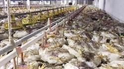 Thảm cảnh: Trang trại cả vạn con gà bị sốc nhiệt, chết la liệt vì nắng nóng cực điểm