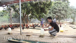 Lai Châu: Kỹ sư xây dựng chăn nuôi gà thả đồi, mỗi tháng bán 2 tấn gà thịt