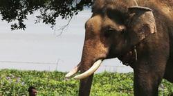 Vụ voi nhà húc chết người: Voi động dục hay nắng quá bị điên?