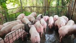 """Giá heo hơi hôm nay 23/5: """"Ông lớn"""" mạnh tay tăng 5.000 đồng/kg lợn hơi, phá vỡ cam kết"""