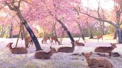 Đàn nai tạo cảnh tượng hiếm thấy dưới tán cây hoa anh đào Nhật Bản