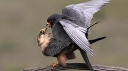 Chim ưng chân đỏ giao phối lọt top ảnh động vật đẹp trong tuần