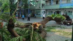 Cây phượng đổ trong sân trường ở TP.HCM, 1 học sinh tử vong