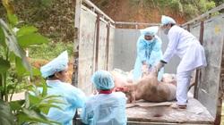 Dịch tả lợn châu Phi nguy cơ tái phát, Bộ NNPTNT yêu cầu 20 tỉnh vào cuộc gấp