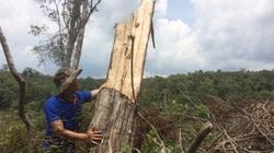 """Đắk Nông: Hàng nghìn ha rừng bị """"cạo trọc"""" như thế nào?"""