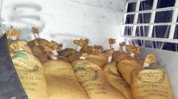 Cà Mau: Bắt giữ tới hơn 1,3 tấn hải sâm