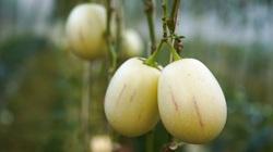 Trồng loại dưa hấu tí hon, quả chỉ 3 lạng mà bán 60.000 đồng/kg