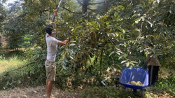 Đông Nam Bộ: Sầu riêng, chôm chôm chưa vào mùa giá đã tụt, dân lo sốt vó