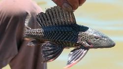 """Đáng báo động: Loài cá da xù xì """"siêu đẻ"""" bỗng xuất hiện dày đặc ở Hồ Trị An"""