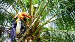 """Trà Vinh: Bí kíp trồng dừa chưa kịp ra trái đã """"hái"""" ra tiền"""