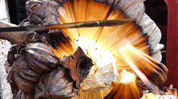 Loại dừa gì kỳ lạ nhìn như hạt dẻ, không có nước bên trong mà đắt ngang đặc sản