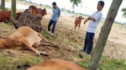 Thanh Hóa: 4 con bò đột nhiên sùi bọt mép lăn đùng ra chết, dân hoang mang, phẫn nộ