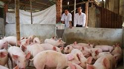 Quảng Nam: Chỉ còn 25.000 con lợn nái, nguy cơ thiếu hụt lợn giống lớn