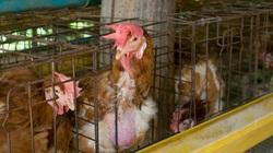 Bác sĩ Mỹ cảnh báo virus chết người từ các trang trại gà có thể giết 1 nửa nhân loại